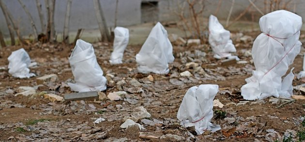 Netkaná textilie rostliny ochrání před mrazovým větrem