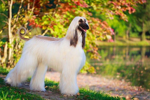 Afghánský chrt - pes samostatný, elegantní a vznešený.