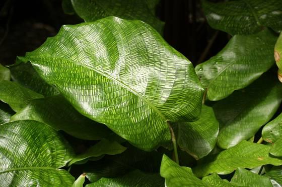 Calathea musaica pochazí z Brazílie