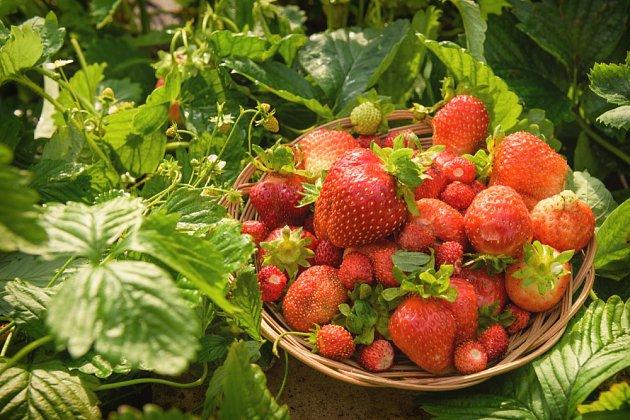 Ať už byla letošní úroda jahod jakákoli, musíme se o jahodníky po sklizni dobře postarat.
