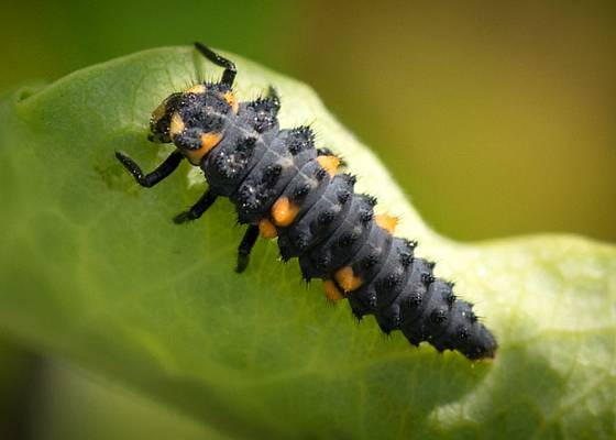 larva slunéčka