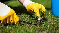 Čím dříve plevel z trávníku odstraníme, tím lépe.