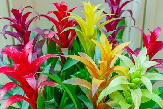Epifytní pokojové rostliny se těší velké oblibě.