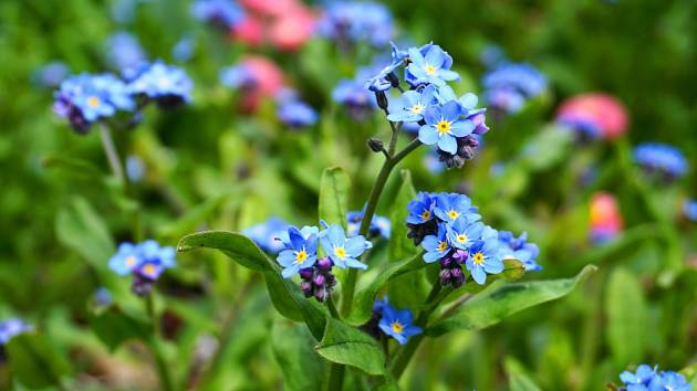 Pomněnka (Myosotis) je dvou- i víceletá rostlina.