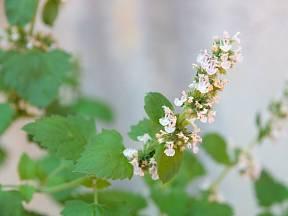 Šanta kočičí je vytrvalá bylina z čeledi hluchavkovité.