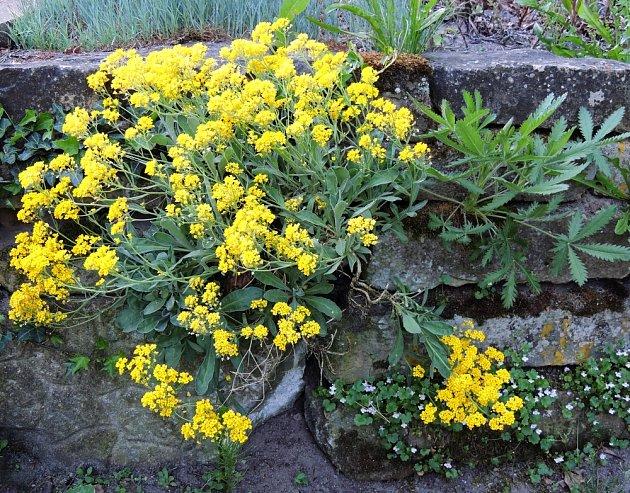 Tařice rozjasní skalku svou žlutě kvetoucí energií.