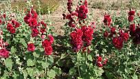 Topolovka růžová (Alcea rosea, syn. Althaea rosea) zvaná slézová růže
