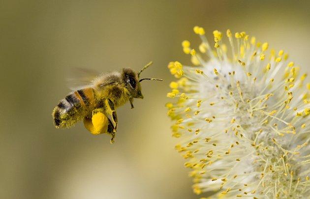 Včely si z jív odnášejí plné rousky pylu