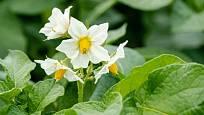 Pohledné kvetoucí brambory vzhledu zahrádky ostudu neudělají