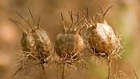 Suché měchýřky černuchy damašské jsou půvabné a dekorativní