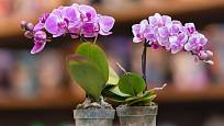 V nabídce prodejců jsou i miniaturní rozkvetlé orchideje.