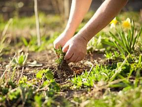 Plevel v trávníku rozčiluje nejednoho majitele zahrady