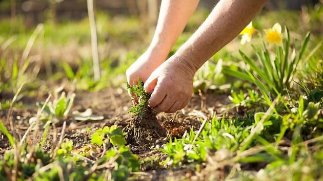 Plevel se označuje jako rostlina, která roste proti vůli pěstitele