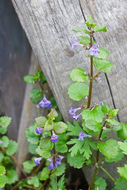 popenec břečťanolistý, planá bylinky výtečné kořenité chuti