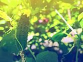Bohatá úroda okurek je snem každého pěstitele.
