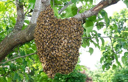 včelí roj na stromě