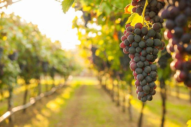 Vinobraní v těchto dnech právě vrcholí.