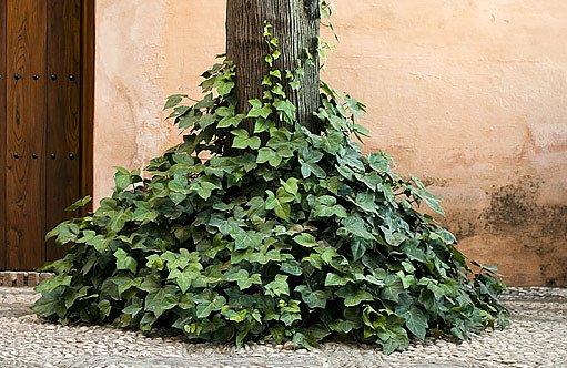 břečťan šplhá poo kmenech stromů