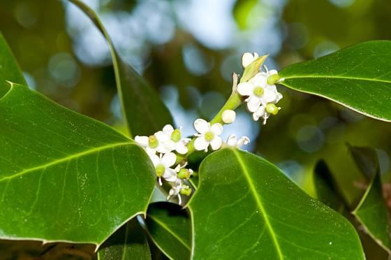 Bíle kvetoucí cesmína ostrolistá (Ilex aquifolium)