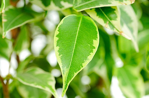 Jen pokojová rostlina se zdravými listy je krásná