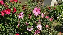 Ibišek bahenní můžeme sehnat v různých barvách květů.