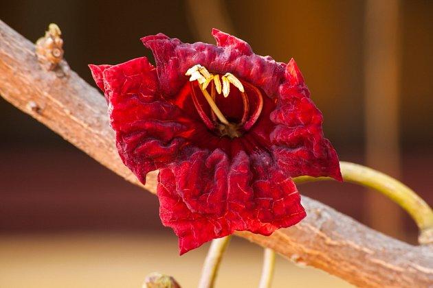 Květy salámovníku jsou až 15 cm velké a silně zapáchají.