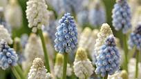Modřence nekvetou jen modře (Muscari aucheri 'White Magic´, aucheri ´Sky Blue´)
