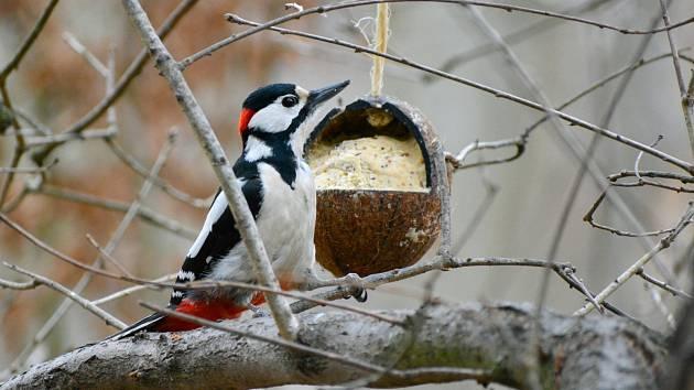 Vyrobit si vlastní krmítko z kokosového ořechu není vůbec složité. I to zjistí účastníci programu Ptačí hodinka. Toto krmítko s tukovou směsí přilákalo samce strakapouda velkého.