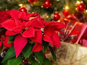 Vánoční hvězdy jsou ozdobné svými květními listeny soustředěnými do hvězdy okolo nenápadných květenství.