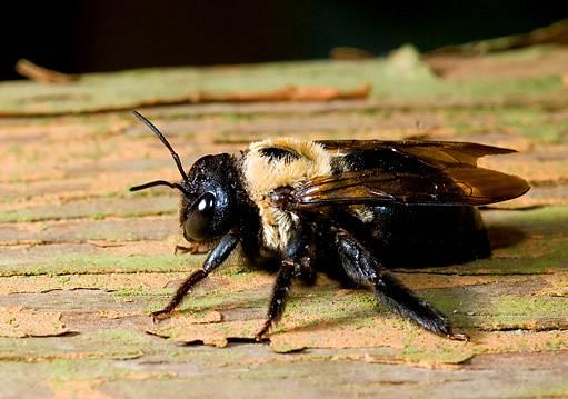 včela drvodělka