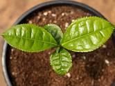Čajovník čínský (Camellia chinensis) můžeme pěstovat jako pokojovku.