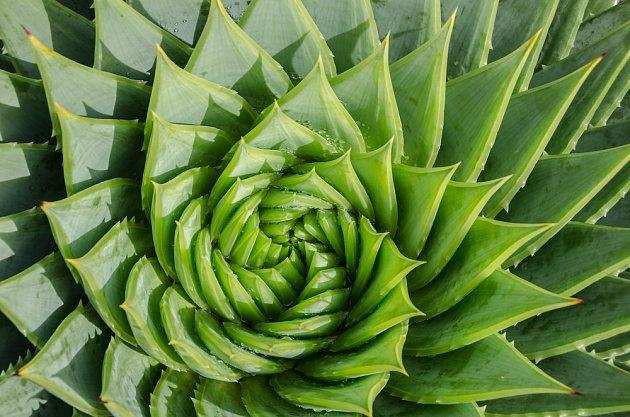 Spirálovitě rostoucí Aloe vera.