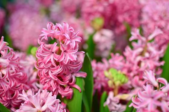Hyacint s růžovými květy.