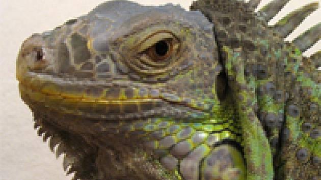 Iguana_q.jpg