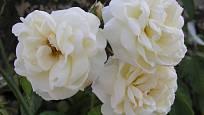 Ilse Krohn Superior (Kordes, Německo, 1964). Bílý květ je velký asi 10 cm, poupě lehce růžové; výška růže 3,5 m. Opakovaně kvetoucí