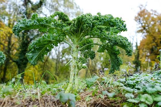 kadeřávek, vynikající zimní zelenina