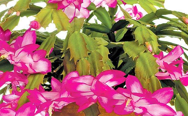 kaktusy pro sváteční květení