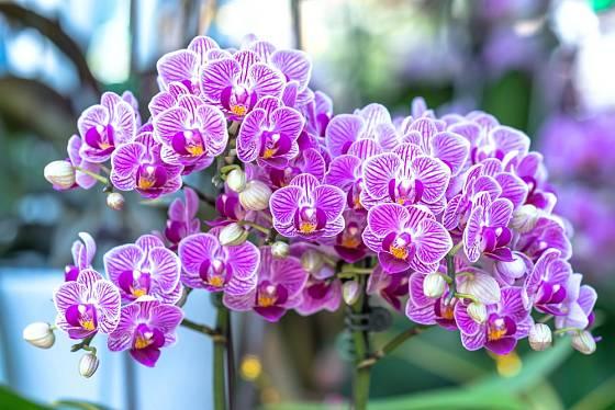 Orchideje rodu Phalaenopsis jsou s oblibou pěstovány i v domácích podmínkách.