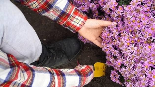 Právě čas počínajícího října je vhodný na výsadbu podzimních květin a také na rozmnožování truhlíků.