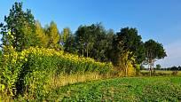 Slunečnice topinambur (Helianthus tuberosus) kvetoucí na okraji pole.