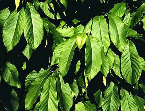 Banán Pawpaw - listy