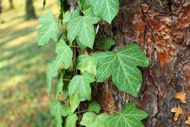 Břečťan popínavý (Hedera helix) šplhá po kmenech stromů.