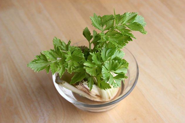 rychlení celeru z odkrojku bulvy