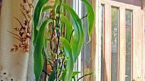 Kalísie voňavá (Callisia fragrans) má ráda nepřímé sluneční světlo.