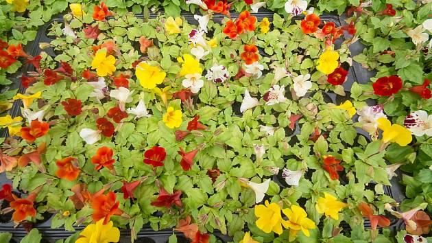 Různé barvy květů kejklířky šarlatové (Mimulus cardinalis)