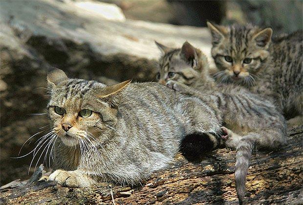 V prvním roce života jsou koťata na matce zcela závislá