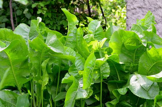 křen selský (Armoracia rusticana)