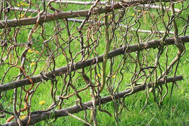 Plot z výhonů kroucené vrby