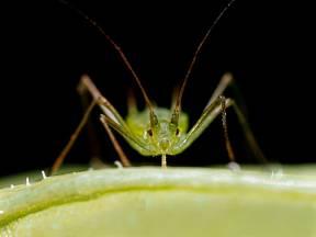 Mšice se živí sáním rostlinných šťáv
