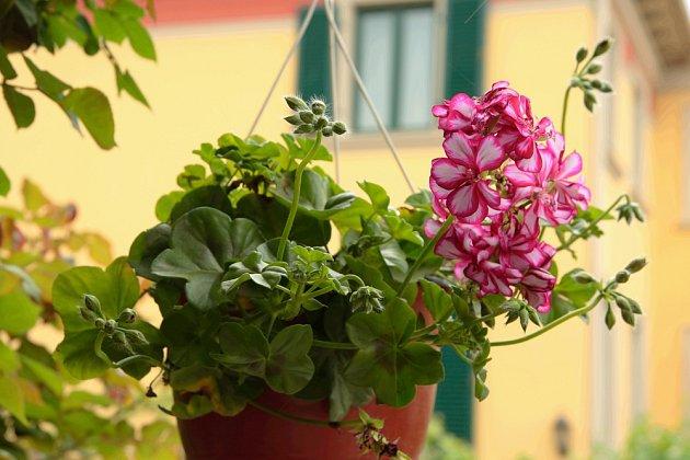 Břečťanolisté muškáty (Pelargonium peltatum) můžeme pěstovat i v závěsných nádobách.